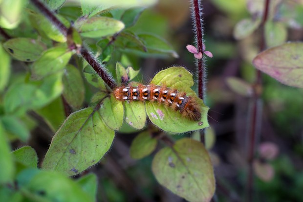 brown-tail-euproctis-chrysorrhoea-moth-caterpillar-2