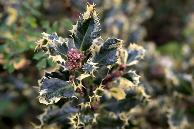 ilex-aquifolium-ferox-argentea-2