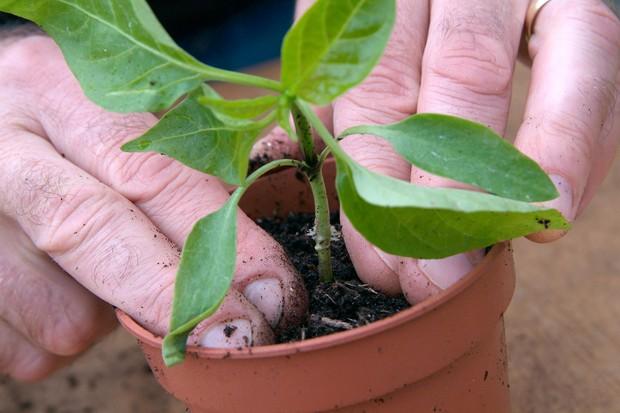 Transplanting sweet pepper seedlings