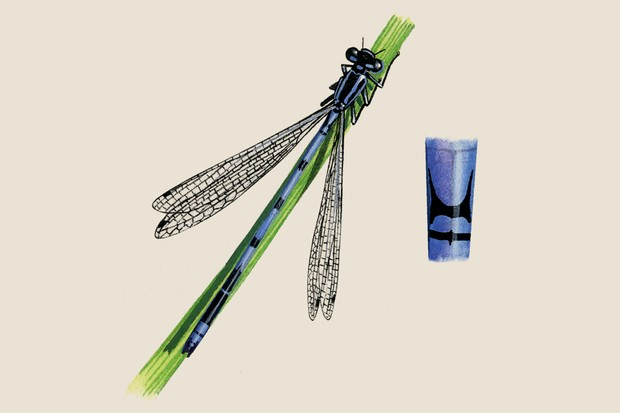 An illustration of the blue-bodied azure damselfly