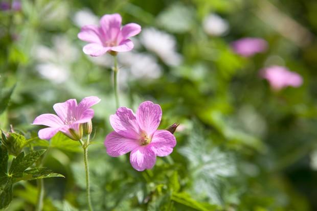 geranium-wargrave-pink-2