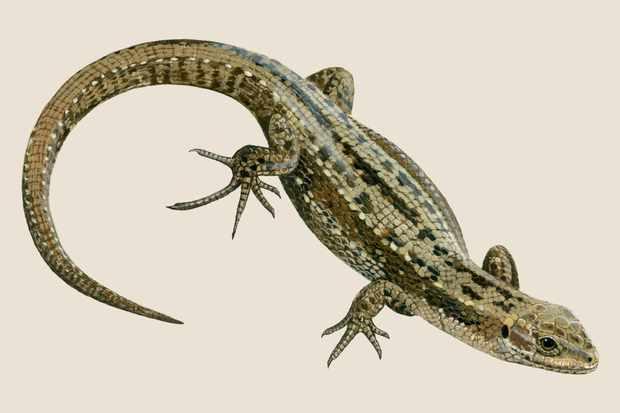common-lizard-3
