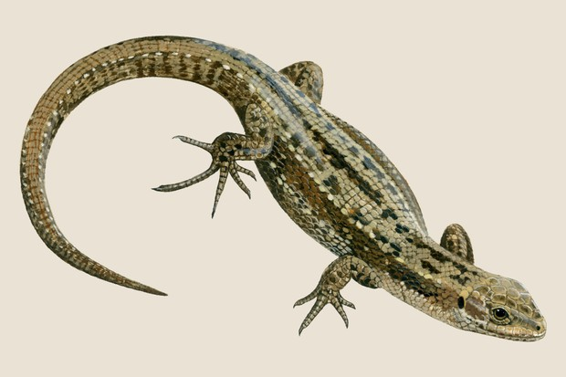 Common lizard (Zootoca vivipara) illustration