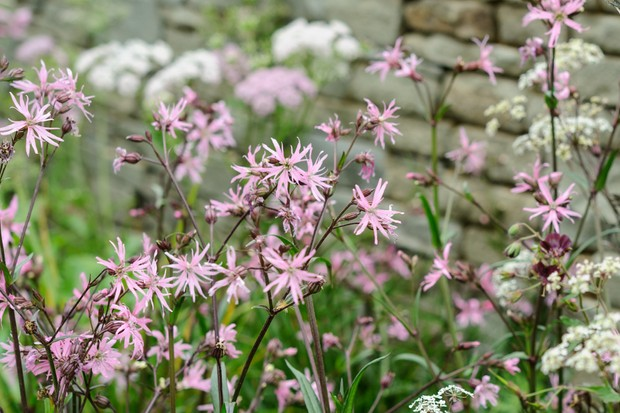 Pale-pink flowers of ragged-robin