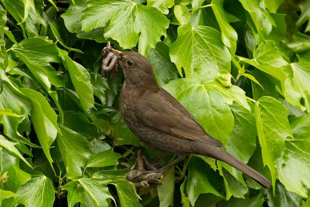 Blackbird in ivy. Credit: Getty Images