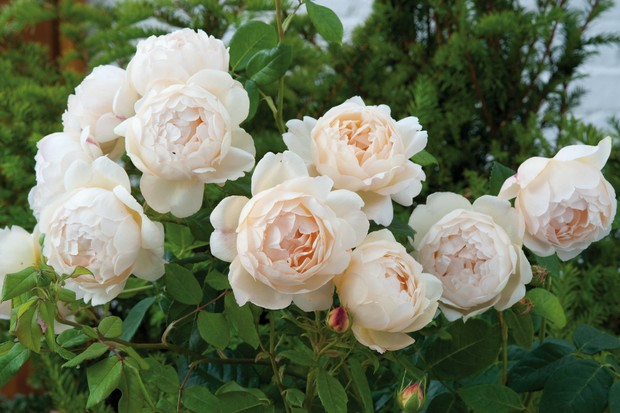 climbing-rose-rosa-wollerton-old-hall-3