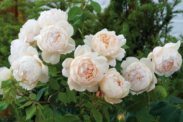 climbing-rose-rosa-wollerton-old-hall-3