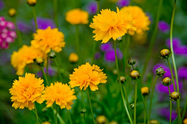 Golden-yellow coreopsis flowers