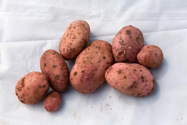 potato-sarpo-mira-9
