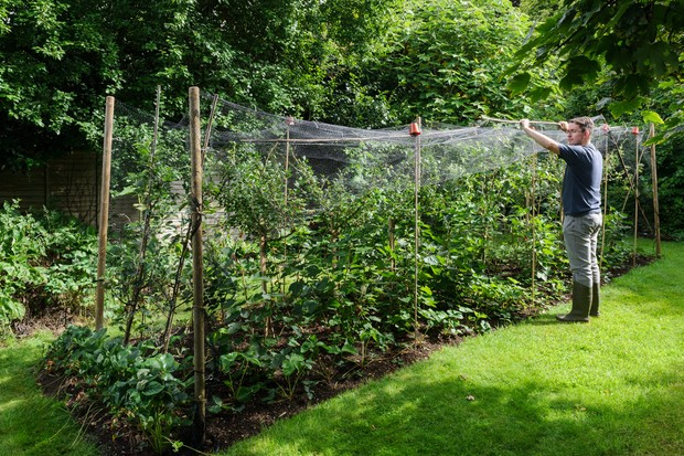 Making a netting cage with bamboo canes to protect ripening fruit from birds
