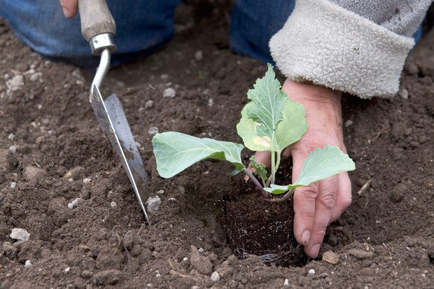 How to grow sea kale - planting out the young plants