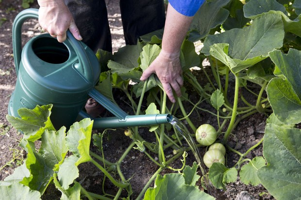 watering-courgette-plants-2