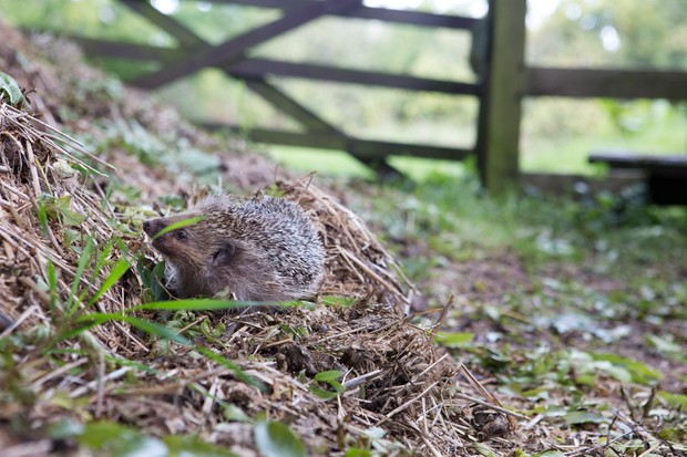hedgehog-on-compost-heap-2