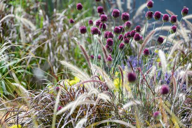 Deep-maroon allium blooms above fluffy cream seedheads and maroon foliage of pennisetum