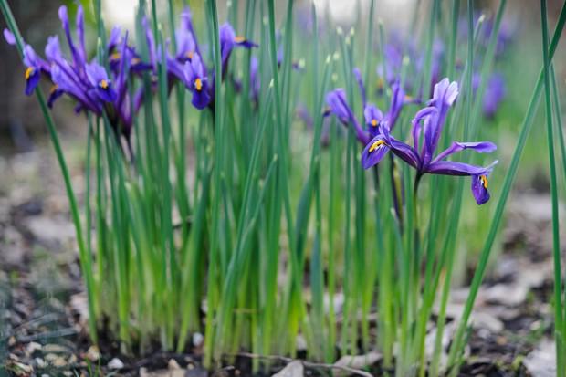 iris-reticulata-4