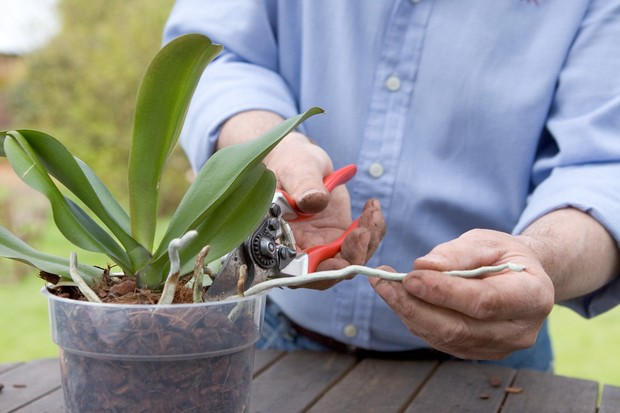 trimming-off-stray-aerial-roots-from-a-moth-orchid-2