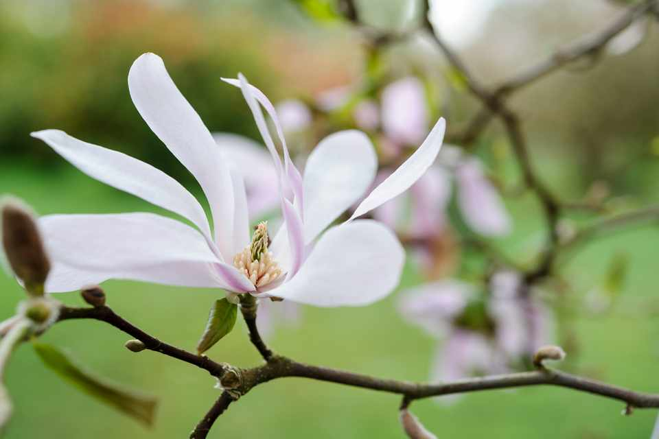 Get the best from acid soil - magnolia