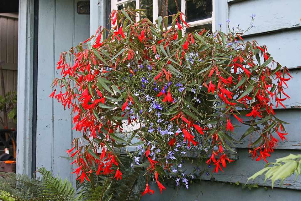 Begonia and campanula hanging basket