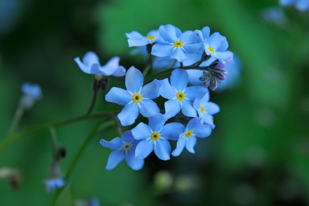 Tiny blue forget-me-not flowers