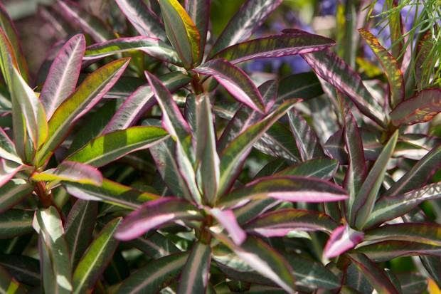 euphorbia-martinii-ascot-rainbow-2