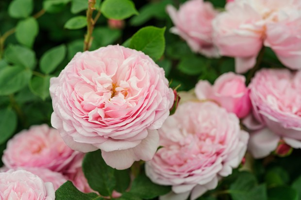 rosa-st-ethelburga-6