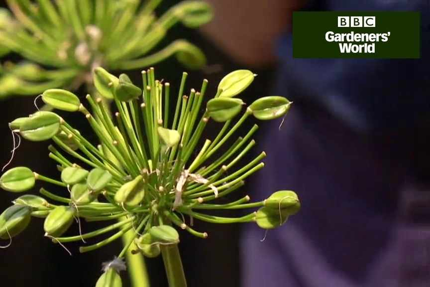 How to encourage agapanthus to flower video