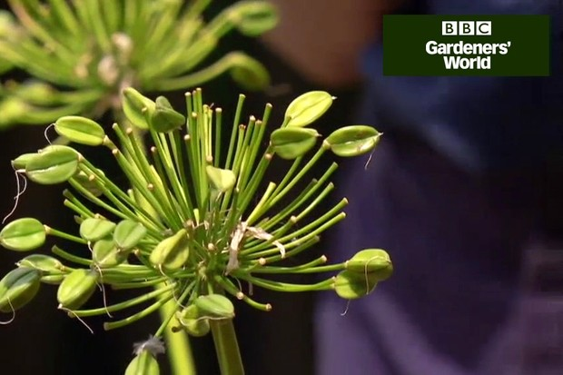 How to encourage agapanthus flowers