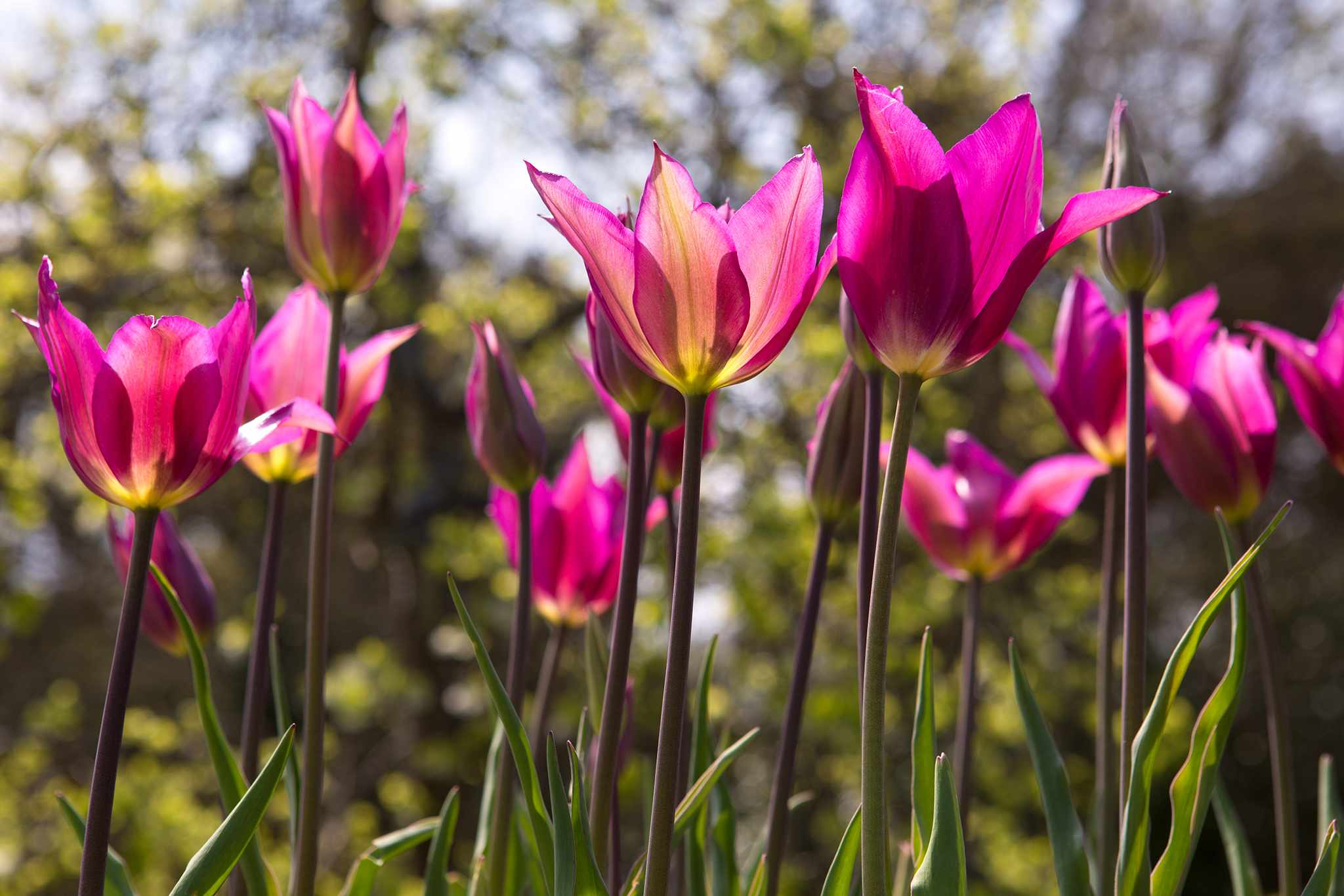 Favourite Single Tulips to Grow