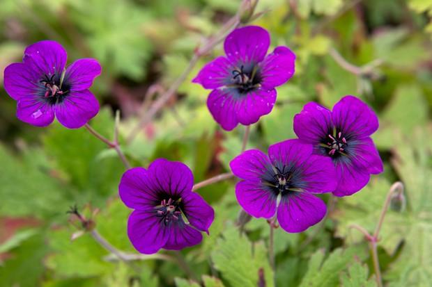 geranium-ann-folkard-3