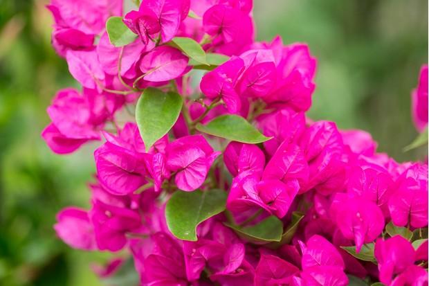 Vivid-pink flowers of <em>Bougainvillea</em> 'Vera'