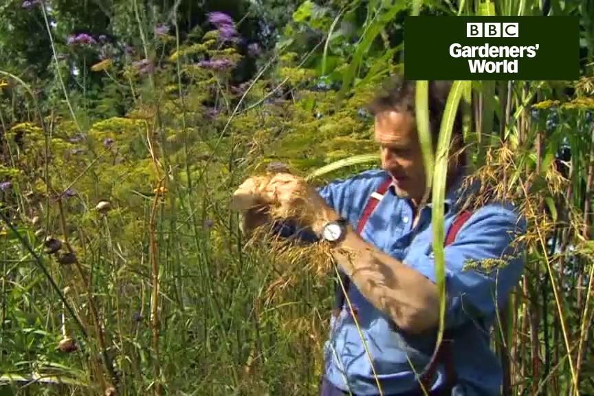 How to take cuttings of Verbena bonariensis video