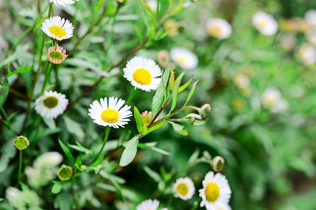 Erigeron flowers and buds