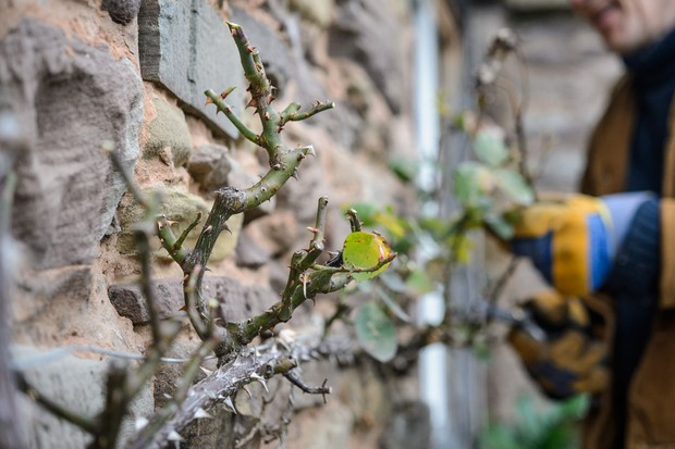 cutting-back-flowered-rose-stem-2