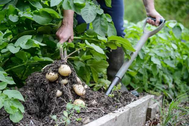 digging-up-potatoes-3