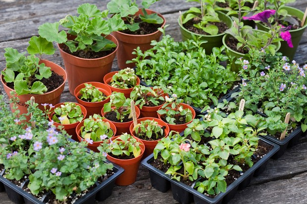 potted-up-plug-plants