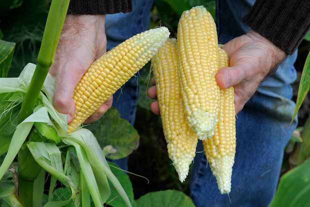 harvesting-sweetcorn-2