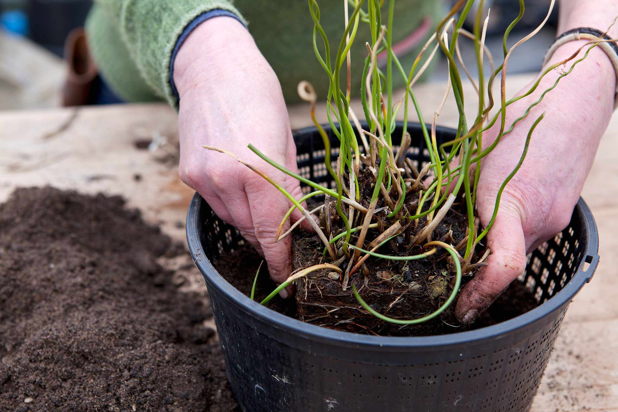 Repotting a pond plant in spring