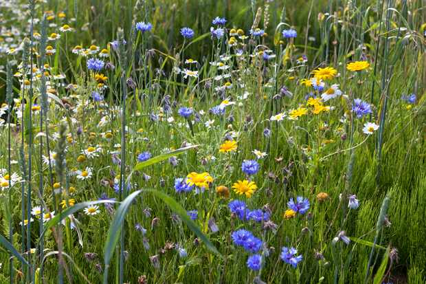 corn-marigolds-with-cornflowers-and-ox-eye-daisies-2