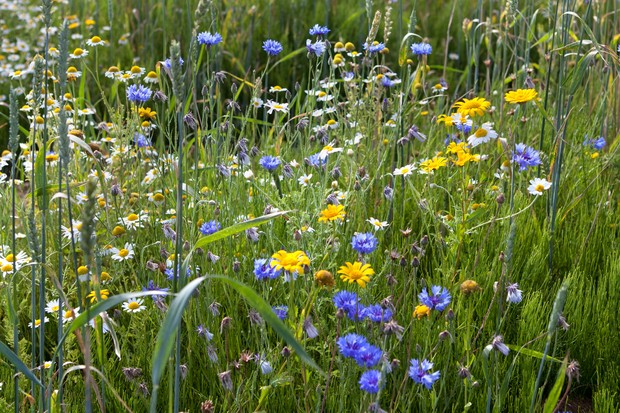 Deep-yellow corn marigolds amongst cornflowers and ox-eye daisies