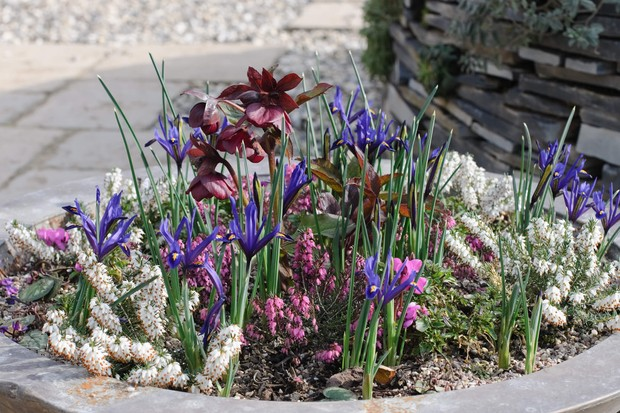 winter-heather-and-reticulate-irises-2