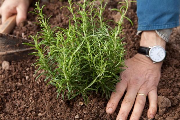 planting-rosemary-2