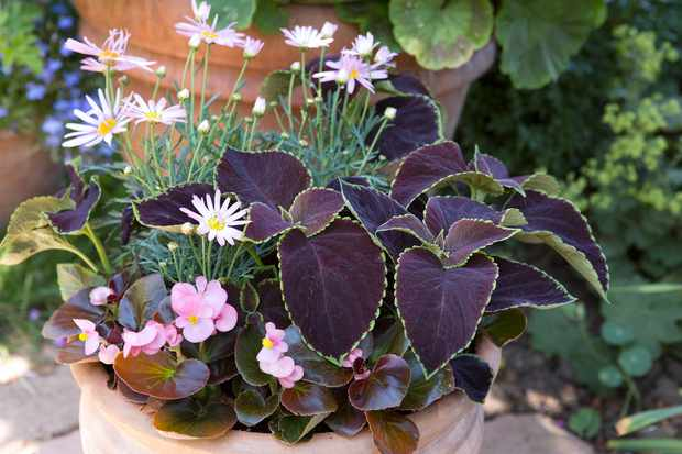 Begonia and marguerite container