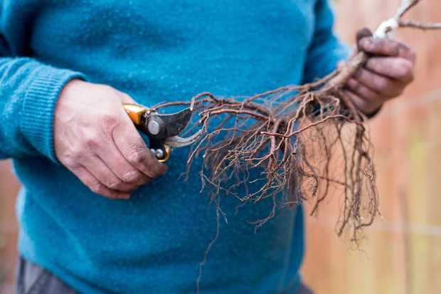 bare-root-gooseberry-bush-3