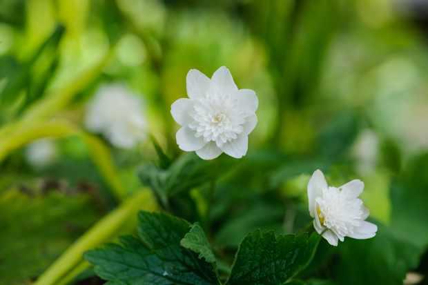 anemone-nemorosa-2