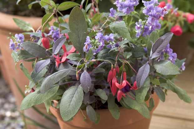 Fuchsia, sage and nemesia pot display