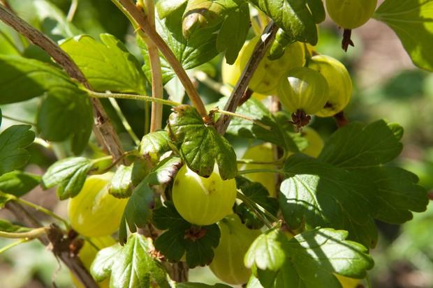 gooseberry-invicta-3
