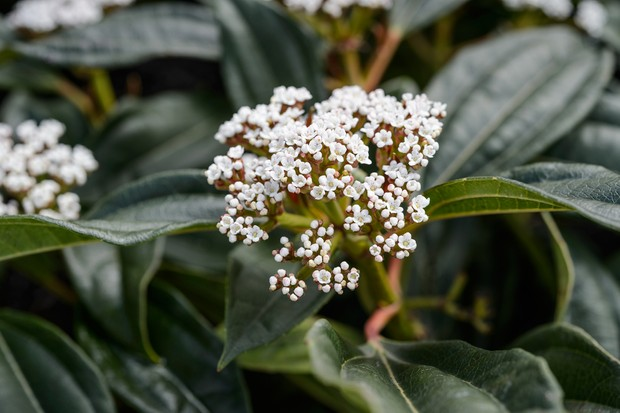 viburnum-davidii-2