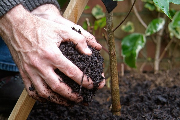 Mulching around a newly planted shrub