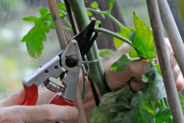 Removing lower leaves from a tomato plant
