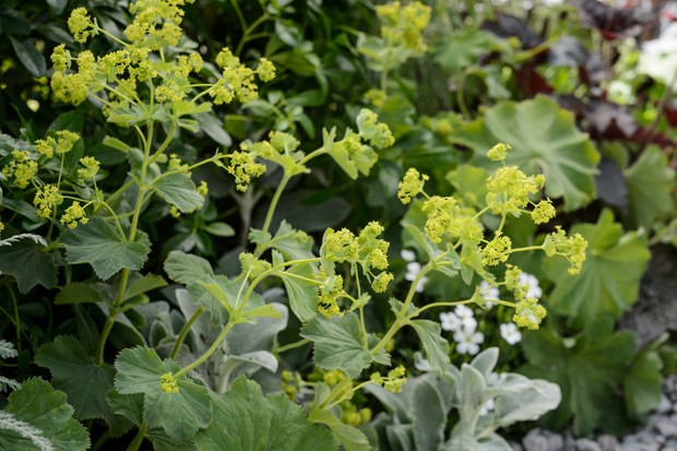 Lime flowers of lady's mantle